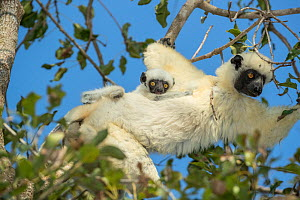 Decken's sifaka (Propithecus deckenii) female and her young playing, Tsimembo area, Madagascar. Lenses for Conservation project.  -  Houdin and Palanque