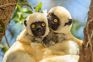 Decken's sifaka (Propithecus deckenii) grooming each other, Tsimembo area, Madagascar.  Lenses for Conservation project.  -  Houdin and Palanque