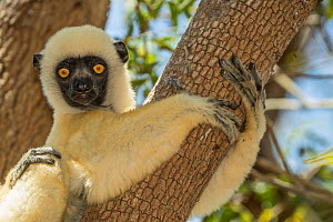 Decken's sifaka (Propithecus deckenii) portrait,Tsimembo area, Madagascar.  Lenses for Conservation project.  -  Houdin and Palanque