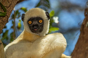 Decken's sifaka (Propithecus deckenii) portrait, Tsimembo area, Madagascar.  Lenses for Conservation project.  -  Houdin and Palanque