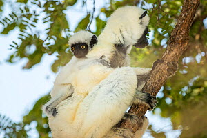 Decken's sifaka (Propithecus deckenii) mother with baby, Tsimembo area, Madagascar.  Lenses for Conservation project.  -  Houdin and Palanque