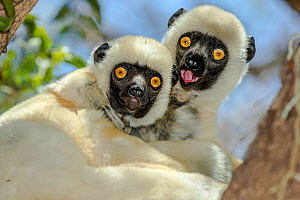 Portrait of two Decken's sifakas (Propithecus deckenii), Tsimembo area, Madagascar. Lenses for Conservation project.  -  Houdin and Palanque