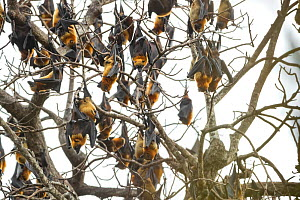 Madagascar flying fox, (Pteropus rufus),group roosting, Tsimembo area, Madagascar Lenses for Conservation project.  -  Houdin and Palanque