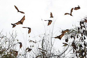 Madagascar flying fox, (Pteropus rufus), group in flight, Tsimembo area, Madagascar Lenses for Conservation project.  -  Houdin and Palanque