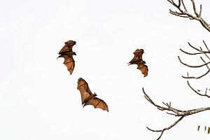 Madagascar flying fox, (Pteropus rufus) group of three in flight, Tsimembo area, Madagascar Lenses for Conservation project.  -  Houdin and Palanque