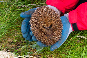 Hedgehog (Erinaceus europaeas) caught in trap to prevent it from predating Little Terns and other ground nesting birds in machair habitat. This pregnant female will be relocated to the Scottish mainla... - David  Woodfall