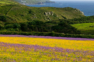 Strips of purple Vipers bugloss( Echium plantagineum) and Corn marigold (Chrysanthemum segetum) with Cornish coast in background background . Bosregan Meadows,St Just Cornwall,England ,UK  -  David  Woodfall