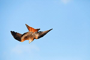 Red kite (Milvus milvus) diving, Powys, Wales, UK, February. - David  Woodfall