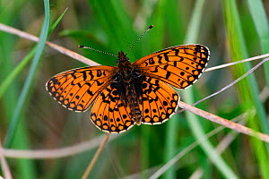 Small Pearl bordered fritillary butterfly (Boloria silene) Dare Valley Country Park, Rhondda Cynon Taf, Wales, UK, May. - David  Woodfall