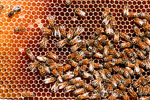 Honey Bees (Apis melifera) on comb, Epping Forest, Essex, England, UK. May.  -  David  Woodfall