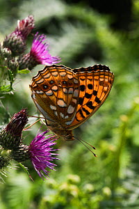 High brown fritillary (Argynnis adippe) butterfly on thistle. Ogmore Down, Wales, UK, July. - David  Woodfall