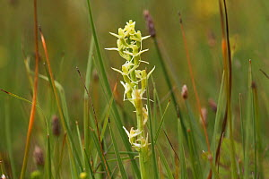 Fen orchid (Liparis loeselli) in flower, Whitford Burrows NNR, Gower, Wales, UK. July. - David  Woodfall