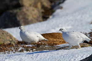 Ptarmigan (Lagopus mutus) female in snowfield, Cairngorms National Park, Scotland, England, UK, February. - David  Woodfall