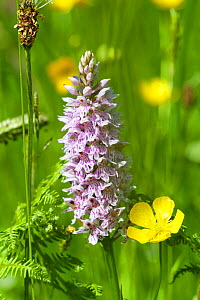 Common spotted orchid (Dactylorhiza fuchsii) and Meadow butttercup (Ranunculus acris) flowers, The Burren, County Clare, Republic of Ireland. June.  -  David  Woodfall