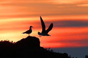 Lesser Black backed gulls (Larus fuscus) silhouetted at dawn. Skomer Island , Pembrokeshire, Wales, UK. May. - David  Woodfall