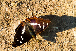 Purple emperor butterfly (Apatura iris) male puddling. Knepp Wildland Project, formerly intensive farmland now turned to conservation and sustainable farming. Horsham, West Sussex. England, UK. June - David  Woodfall