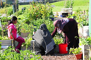 Women and child cultivating raised beds in Vetch Community Garden, Swansea, Wales, UK. July. - David  Woodfall