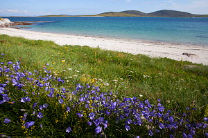 Harebells (Campanula rotundifolia) growing in machair on the edge of sea, Berneray, Outer Hebrides, Scotland, UK, July. - David  Woodfall
