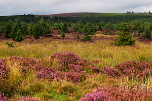 Kielderhead Nature Reserve rewilding site, Northumberland, England, UK, August. - David  Woodfall