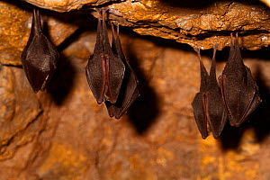 Lesser horseshoe bats ( Rhinolophus hipposideros) in magnesium mine, Shropshire, England, UK, April. - David  Woodfall