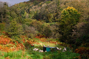 Mob grazing by sheep in woodland, this is an intense form of grazing where the animals are kept in a small area then moved on. Roeburndale Woodlands, Lancashire, England, UK. October.  -  David  Woodfall