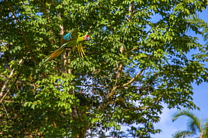 Great green macaw (Ara ambiguus) Costa Rica, La Selva Field Station. August. - Phil Savoie