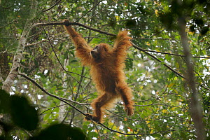 Tapanuli Orangutan (Pongo tapanuliensis) Beti, juvenile female, daughter of Beta, in the trees, Batang Toru Forest, Sumatran Orangutan Conservation Project, North Sumatran Province,  Indonesia - Tim  Laman