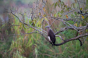 Grey headed fish eagle, (Icthyophaga ichthyaetus) perched on branch, Kaziranga National Park, Assam, India.  -  Patricio Robles Gil