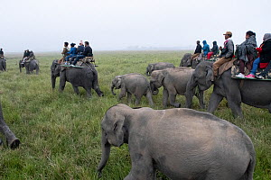Tourists watching Rhinoceros from domesticated elephants (Elephas maximus) with young elephants following mothers. Kaziranga National Park, Assam, India.  -  Patricio Robles Gil
