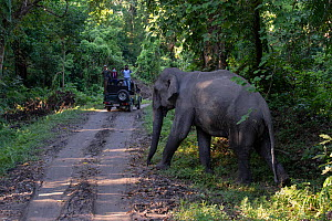 Indian elephant (Elephas maximus indicus) male walking across a road, watched by tourists from vehicle, Kaziranga National Park, Assam, India.  -  Patricio Robles Gil