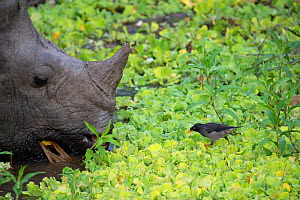 Indian rhinoceros (Rhinoceros unicornis) with Jungle myna (Acridotheres fusses) Kaziranga National Park, Assam, India. - Patricio Robles Gil