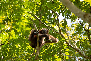 Hoolock gibbon (Hylobatidae hoolock) female Kaziranga National Park, Assam, India.  -  Patricio Robles Gil