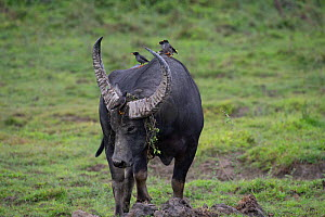 Wild water buffalo (Bubalus arnee) male with Jungle myna (Acridotheres fusses) on its back. Kaziranga National Park, Assam, India.  -  Patricio Robles Gil