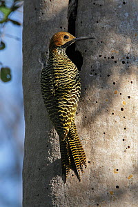 Fernandina's flicker (Colaptes fernandinae) at hole in tree, Cuba. Vulnerable species.  -  Eladio Fernandez