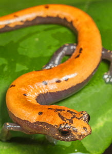 Broadfoot mushroomtongue salamander (Bolitoglossa platydactyla), Catemaco Lake, Los Tuxtlas Rainforest, Mexico, July  -  Claudio  Contreras