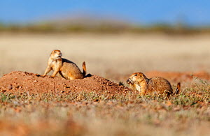 Black-tailed prairie dog (Cynomys ludovicianus) feeding at burrows entrance, Janos Biosphere Reserve, northern Mexico, October - Claudio  Contreras