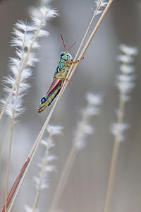 Pasture grasshopper (Melanoplus confusus) in grass stalk, Janos Biosphere Reserve, northern Mexico, October  -  Claudio  Contreras