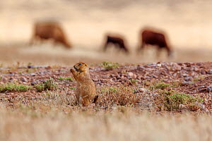 Black-tailed prairie dog (Cynomys ludovicianus) feeding, with cattle passing behind, Janos Biosphere Reserve, northern Mexico, October - Claudio  Contreras