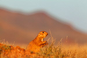 Black-tailed Prairie Dog (Cynomys ludovicianus) at burrows entrance, Janos Biosphere Reserve, northern Mexico, October - Claudio  Contreras