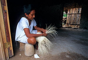 Maya woman weaving Panama hat with fibres of Jipijapa (Carludovica palmata) a palm-like perennial plant, Santa Cruz Hacienda, Yucatan Peninsula, Mexico, June  -  Claudio  Contreras