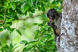 Central American spider monkey (Ateles geoffroyi) juvenile eating, Calakmul Biosphere Reserve, Yucatan Peninsula, Mexico, August  -  Claudio  Contreras