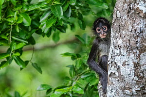 Central American spider monkey (Ateles geoffroyi) juvenile, Calakmul Biosphere Reserve, Yucatan Peninsula, Mexico, August  -  Claudio  Contreras