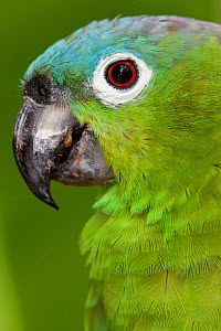 Northern mealy Amazon parrot (Amazona guatemalae) captive, Palenque, southern Mexico, July  -  Claudio  Contreras