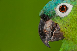 Northern mealy Amazon parrot (Amazona guatemalae), captive, Palenque, southern Mexico, July  -  Claudio  Contreras