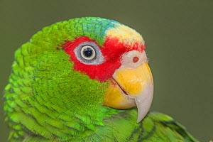 White-fronted Amazon parrot (Amazona albifrons), captive, Palenque, southern Mexico, July - Claudio  Contreras