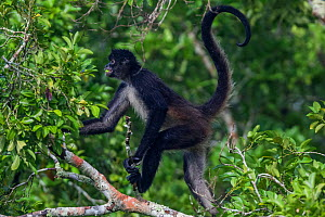 Central American Spider Monkey (Ateles geoffroyi) with fruit in mouth, Dzibanche, Yucatan Peninsula, Mexico, August  -  Claudio  Contreras