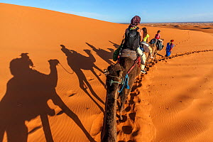 Tourists trekking on domestic Arabian / Dromedary Camel (Camelus dromedarius) with shadows cast on sand, Erg Chebbi dunes near Merzouga, Sahara Desert, Morocco, October - Claudio  Contreras