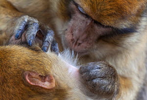 Barbary Macaque (Macaca sylvanus) grooming, Ifrane Forest National Park, Morocco, October  -  Claudio  Contreras