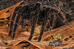 Peruvian Tarantula (Pamphobeteus sp.) and Humming Frog (Chiasmocleis royi) together, Los Amigos Biological Station, Madre de Dios, Amazonia, Peru. These species have a commensal relationship. The tara... - Emanuele Biggi