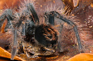 Peruvian Tarantula (Pamphobeteus sp.) young and Humming Frog (Chiasmocleis royi) together, Los Amigos Biological Station, Madre de Dios, Amazonia, Peru. These species have a commensal relationship. Th... - Emanuele Biggi